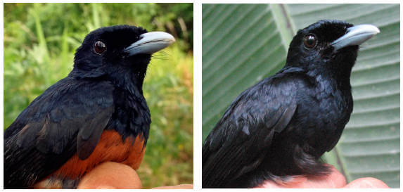 Dark plumage helps birds survive on small islands