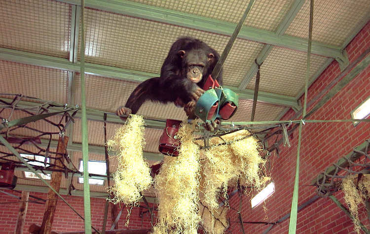 New enclosure design tool created for UK zoos helping chimps behave naturally