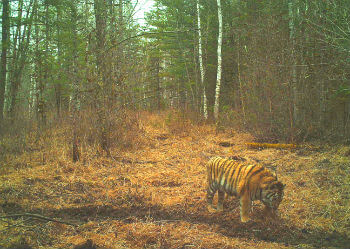 Cinderella tigress Camera Trap