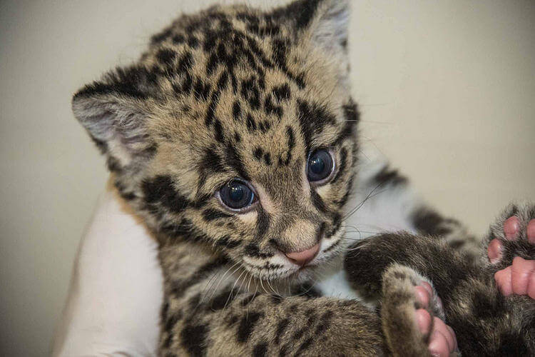 Clouded Leopard cubs growing at the Smithsonian Conservation Biology Institute