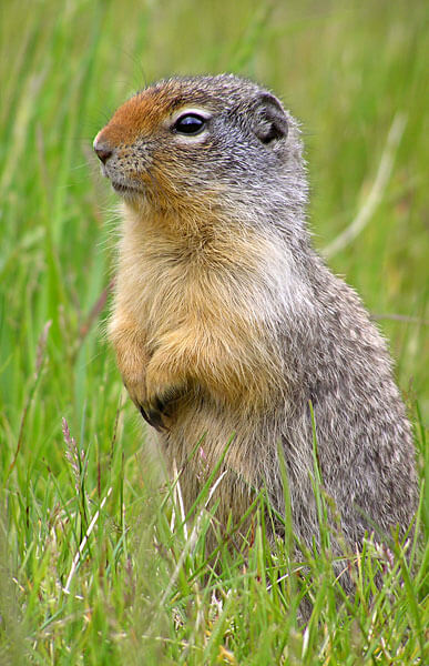 Climate change affects hibernation pattern of ground squirrels