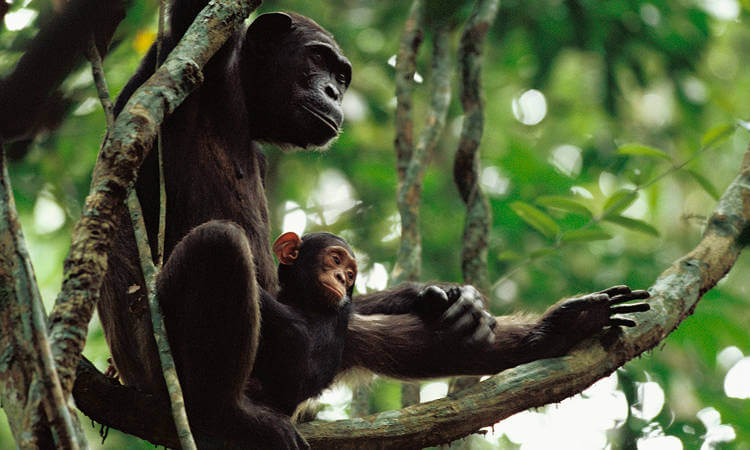 Congo Chimpanzee with mother