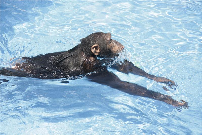 Great apes that swim and dive, first documented report