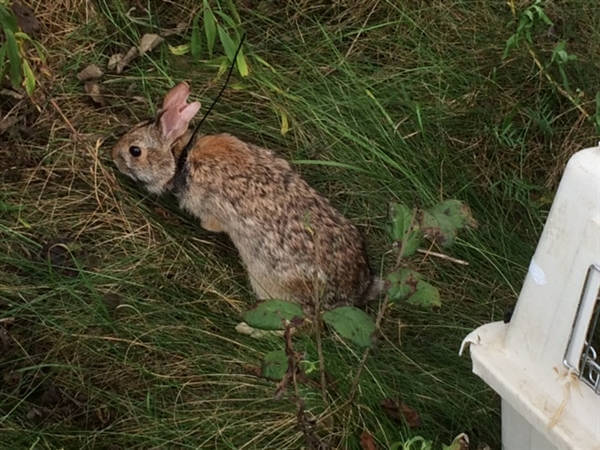 New England Cottontail released with transmitter