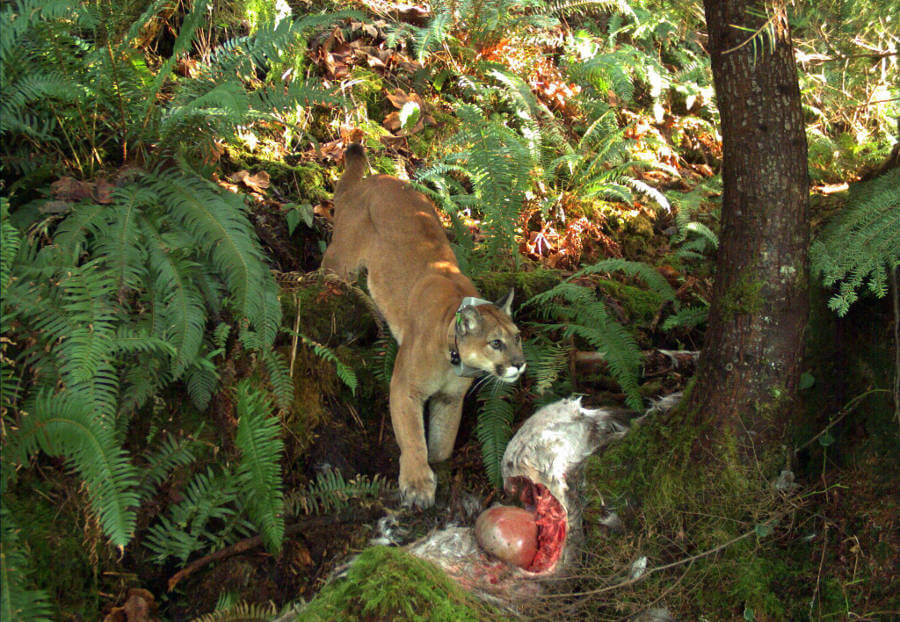 Cougar and prey