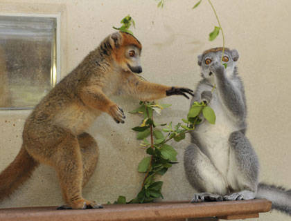 Lemur females rule - thanks to testosterone!