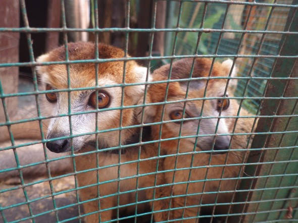 Crowned lemurs as captive pets in Madagascar