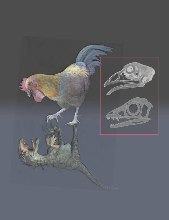 Evolution of Birds caused by changes in Dinosaurs development