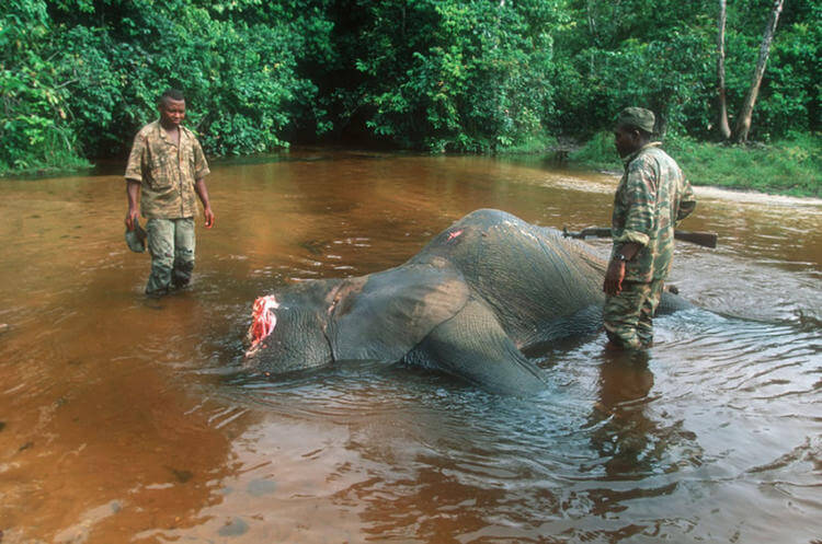 Elephant CAR poached