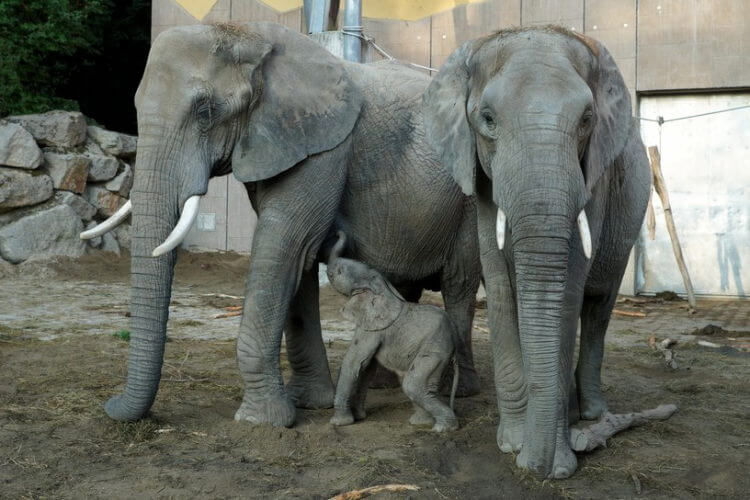 First elephant calf born after artificial insemination using frozen sperm at Vienna Zoo