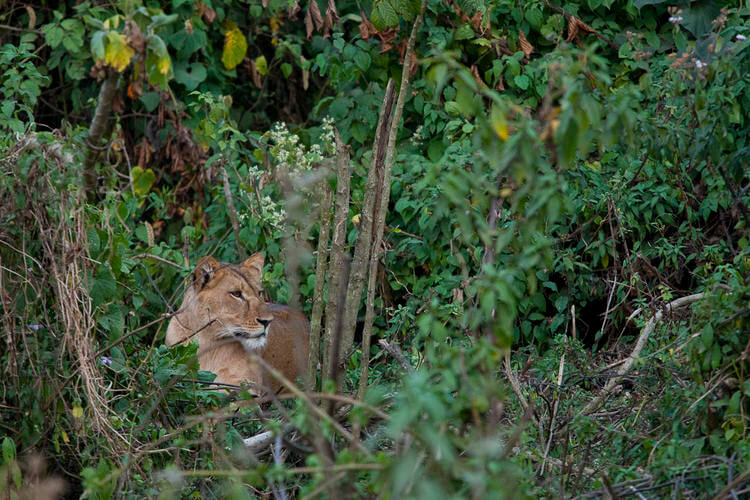 African lions discovered as permanent residents of rainforests