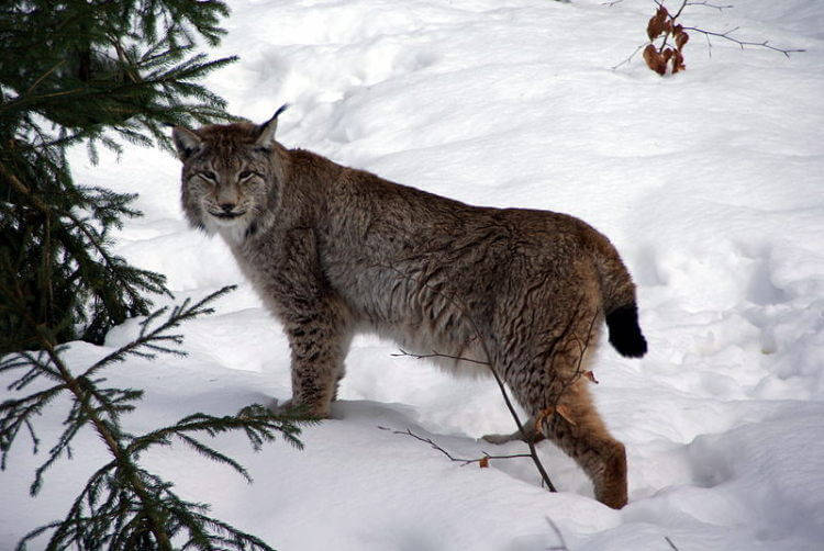Unique reproductive mechanisms in the Eurasian lynx could help save the Iberian lynx