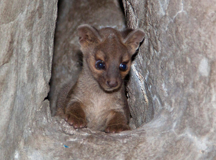 First ever fossa birth at Denver Zoo