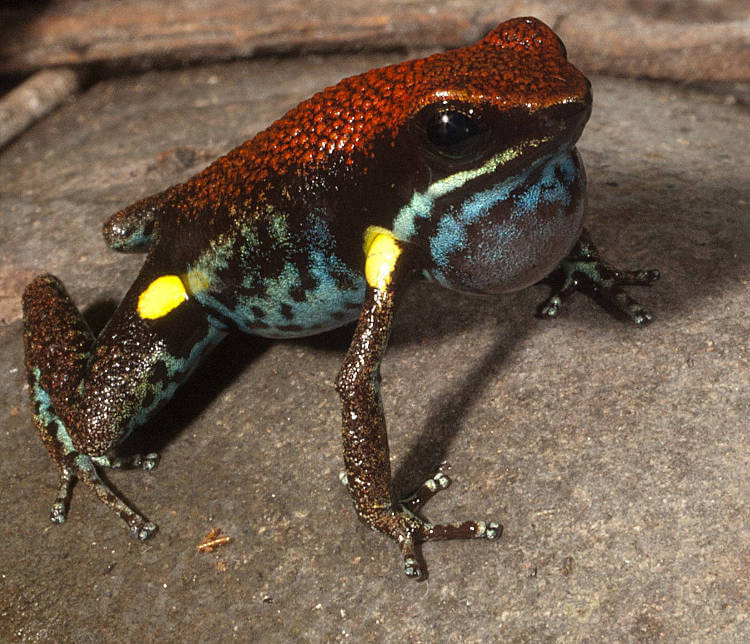 Poisonous frogs developed warning coloration first, loud mating calls later