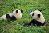 Free choice of partner will boost captive breeding of giant pandas