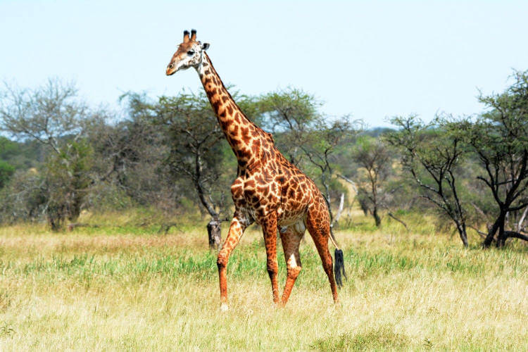 Giraffes facing 'silent extinction' according IUCN