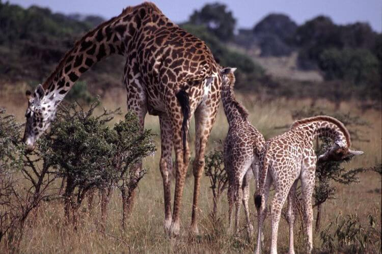 Weather prevents different Giraffe species from interbreeding
