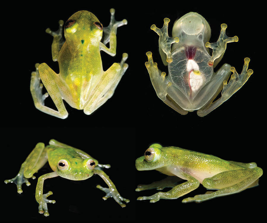 New glassfrog species with see-through skin shows its beating heart