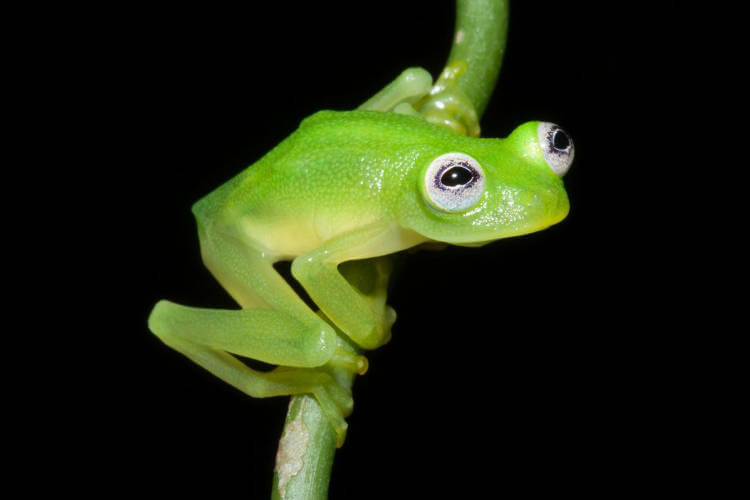 New glassfrog species discovered in Costa Rica