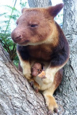Taronga Zoo celebrates first tree kangaroo joey in 20 years