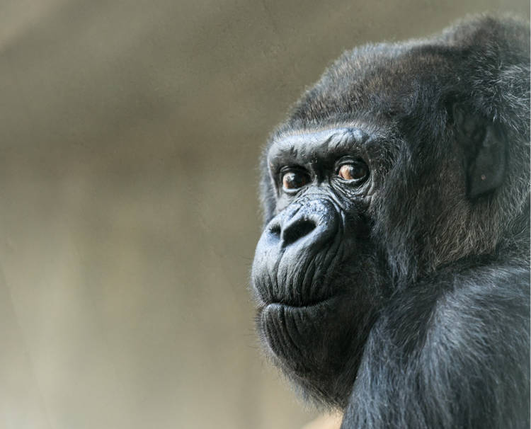 First gorilla born in European zoo turns 55 at Basel Zoo