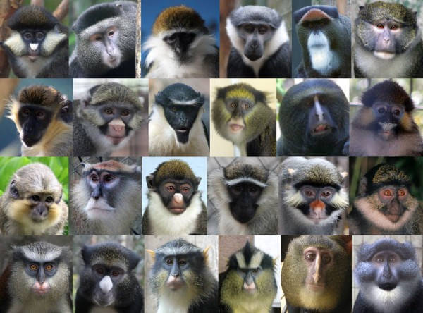 Evolution in facial appearance prevents interbreeding between related monkey species