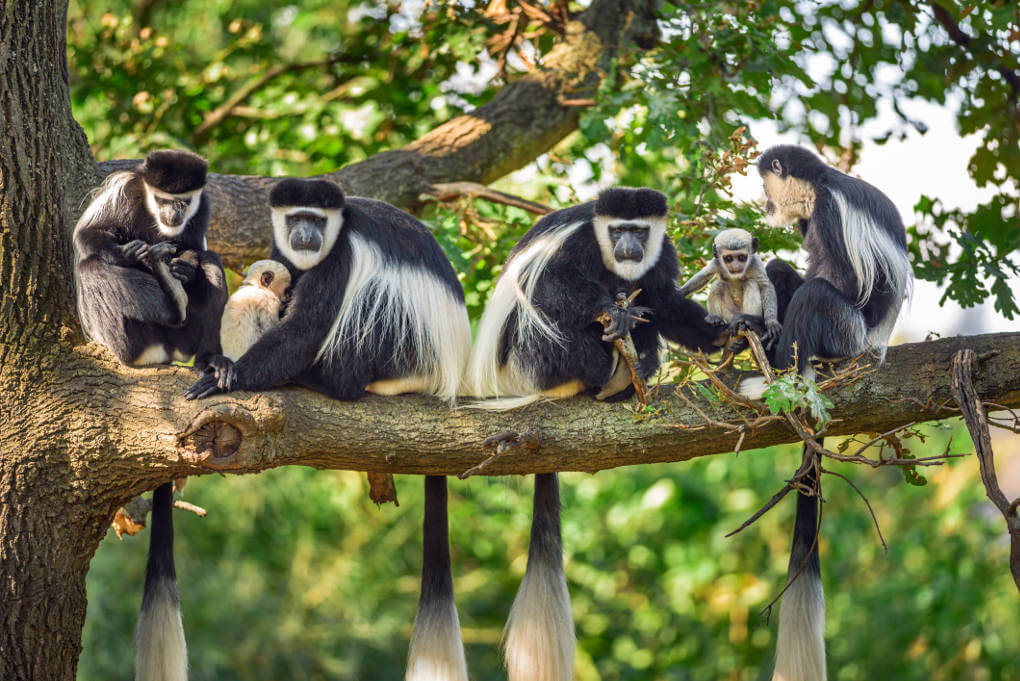 Guereza monkeys and newborns