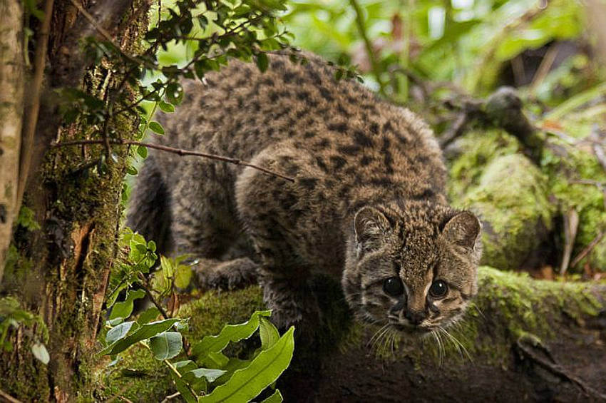 Habitat fragmentation a bigger threat to the güiña wildcat than persecution by humans