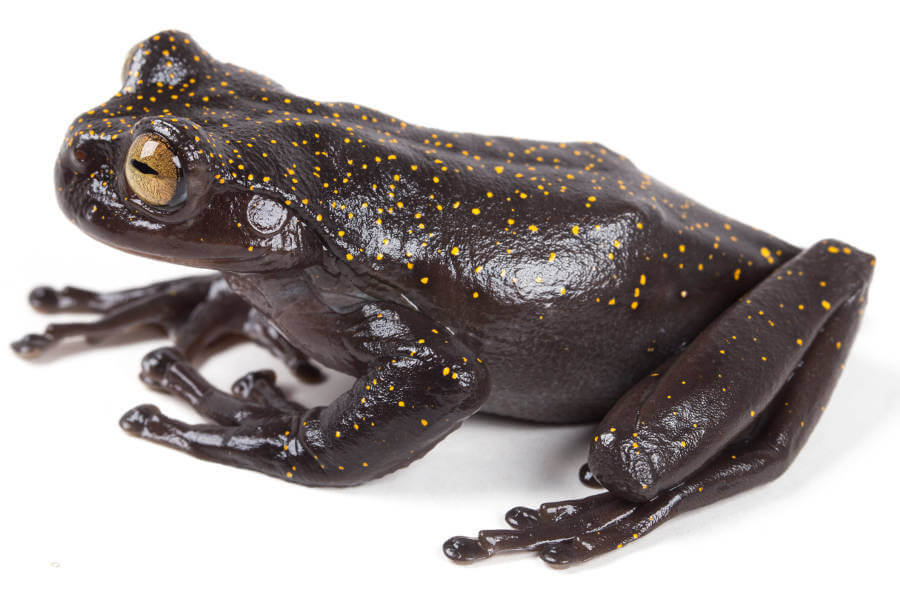 Extraordinary new treefrog discovered in the Andes of Ecuador