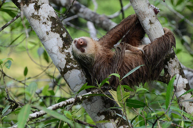 Hoffmann's two-toed sloth: a lazy mating mammal