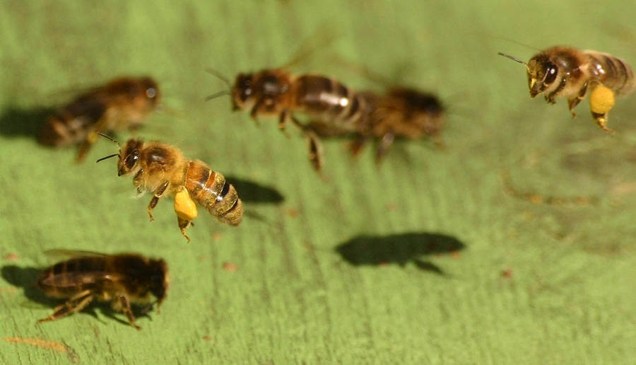 Think of honey bees as 'livestock' not wildlife, argue experts