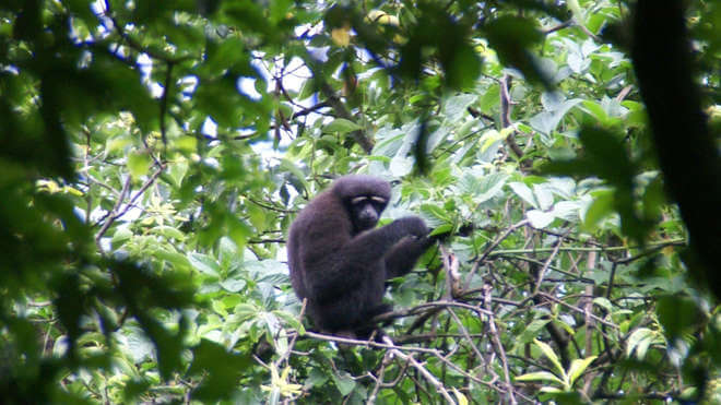 Meet the new 'Skywalker' gibbon