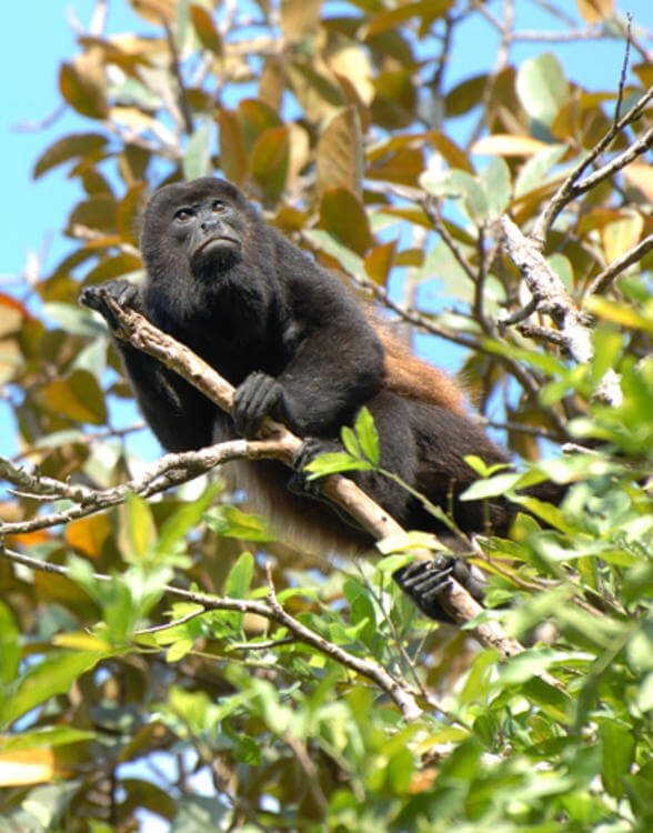 What howler monkeys can tell us about the role of interbreeding in human evolution