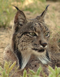 Habitat loss threatens the world's felids