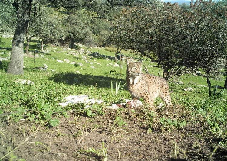 The endangered Iberian lynx, the species with least genetic diversity