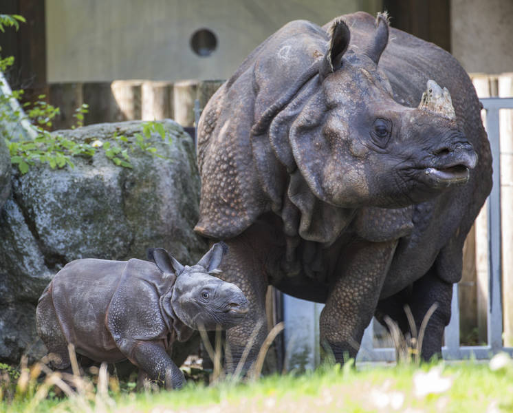World's first captive-born Indian rhinoceros calf, 2015, at Hellabrunn Zoo