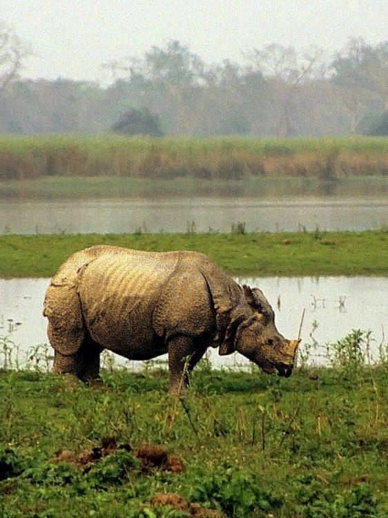Indian rhinoceroses female fertility reduced by reproductive tract tumours