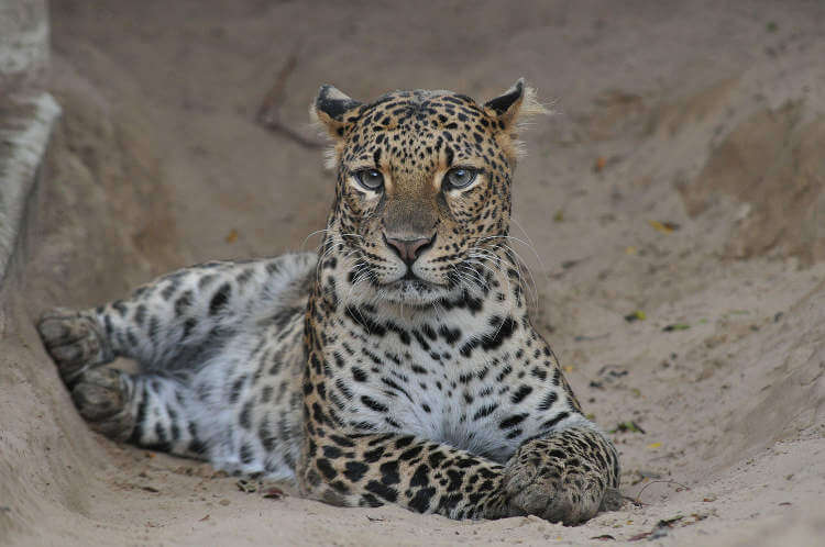 Evolution of the Javan leopard and the urgent need for its conservation