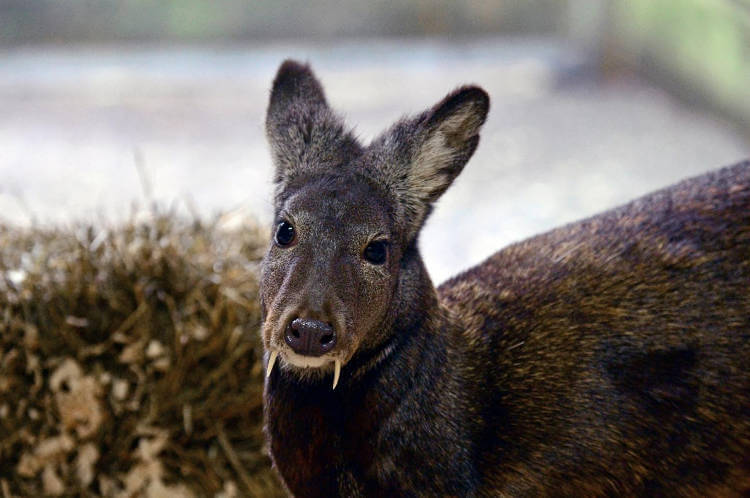 Strange, fanged deer persists in Afghanistan