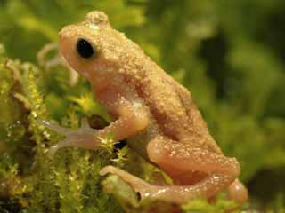 Rare toad declared extinct but saved by Zoos - restored to the wild