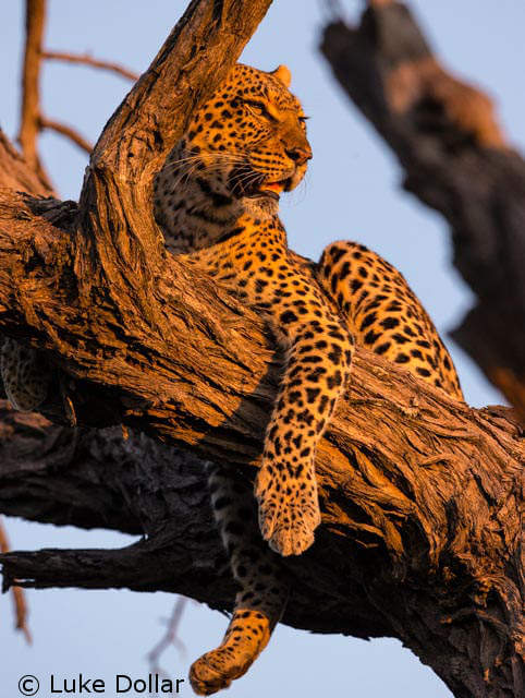 Bad news: leopard's have lost 75 percent of their historic range
