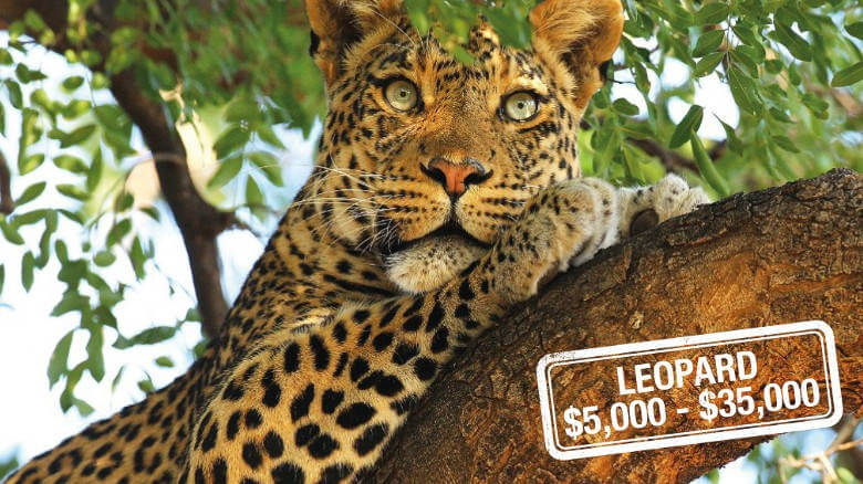 Leopard trophy hunting price
