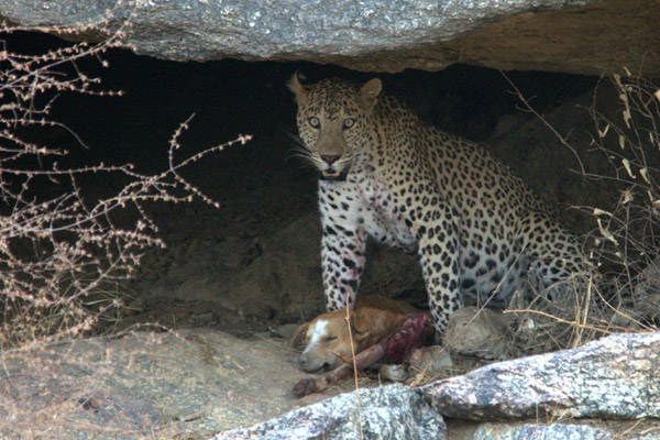 Leopard and dog prey