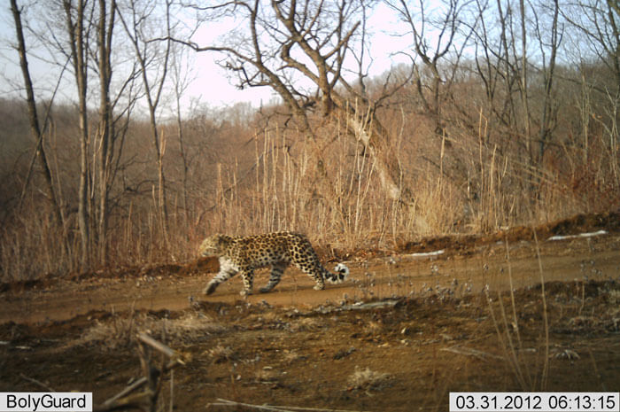 amur leopard camera trap