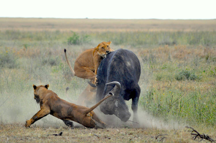 New law of nature explains why there aren't more lions ...