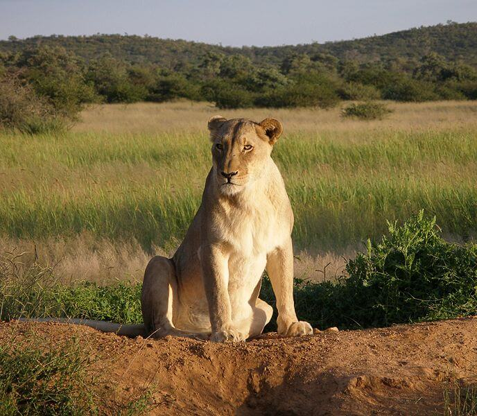 Trophy hunting of lions can aid in conservation of lions