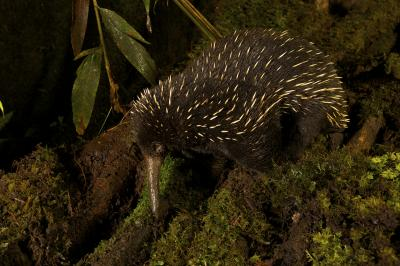 Long-beaked echidna may not be a thing of the past for Australia
