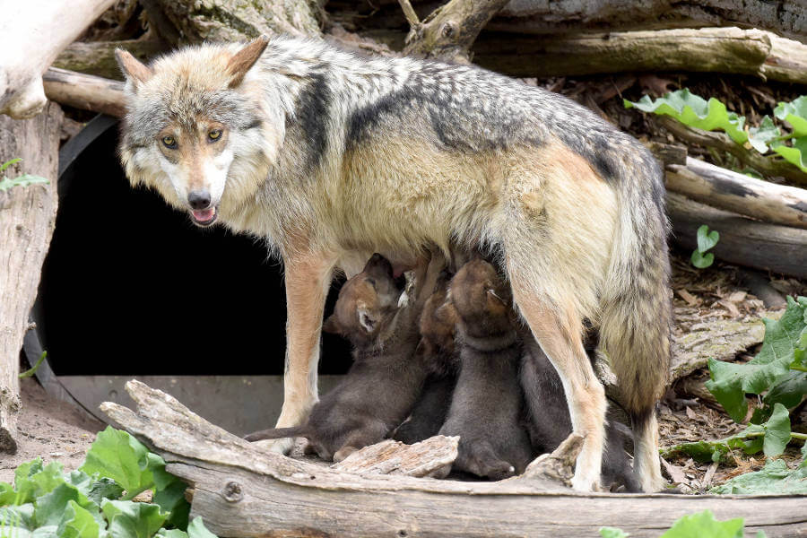 Mexican wolf litter and mum Brookfield zoo