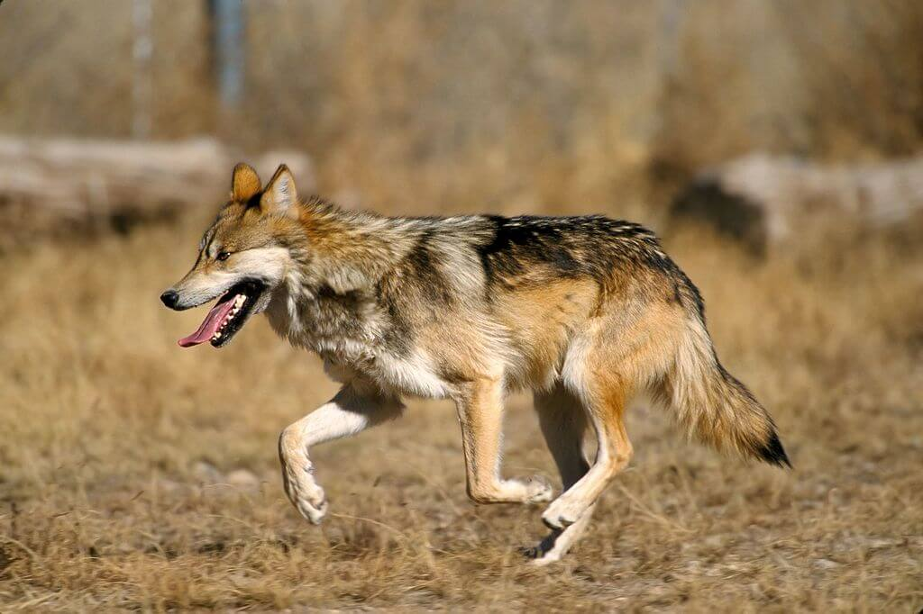 Mexican wolf conservation – a success story that will be ended prematurely?