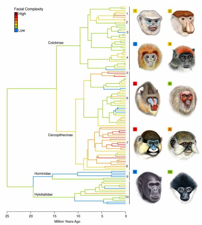Monkey faces apes lineages